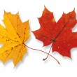 Two maple leaves — Stock Photo #2283805