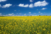 Canola field with cumulus clouds — Stock Photo