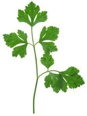 Parsley sprig — 图库照片