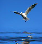 Flying seagull over water — Stock Photo