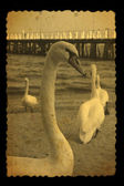 Old photography of swans — Stock Photo