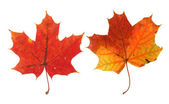 Two vivid maple leaves — Stock Photo