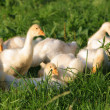 Royalty-Free Stock Photo: Goslings in grass