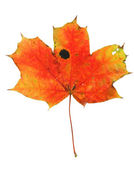 Vivid maple leaf with holes and spots — Stock Photo