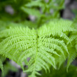 Fern — Stock Photo #2163585