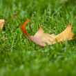 Leave on grass — Stock Photo