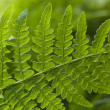 Stock Photo: Macro of a fern leaves