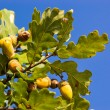 Royalty-Free Stock Photo: Oak tree branch with acorns