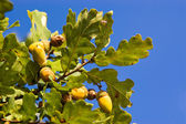Oak tree branch with acorns — Stock Photo
