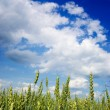 Young wheat field with a blue sky above — Stock Photo #2505055