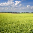 Young wheat field with a blue sky above - Stock Photo