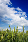 Young wheat field with a blue sky above — Stock Photo