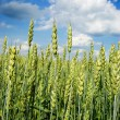 Young wheat field with a blue sky above — Stock Photo #2518568