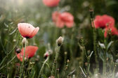 Poppies field in the morning light — Stock Photo