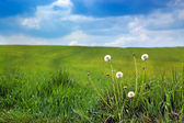 Green field and dandelions — Stock Photo