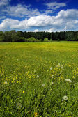 Green meadow with dandelions — Stock Photo