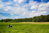 Dramatic sky over a cow in the meadow — Stock Photo