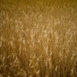 Golden Reed - Stock Photo