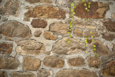 Old wall with green vine — Stock Photo