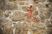 Old sandstone wall with red vine — Stock Photo