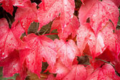 Wet red wine leaves — Stock Photo