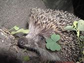 Hedgehog 1 — Stock Photo