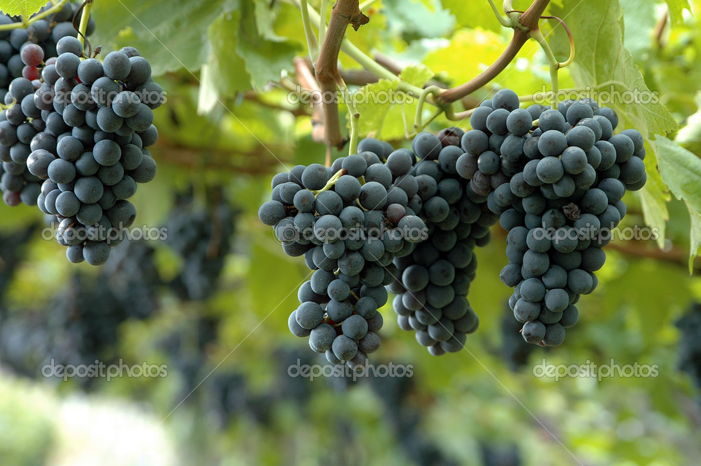 Ripe red grapes on a bunch of vine   #2126141