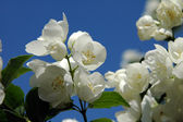 Mock orange — Stock Photo