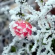 Rose with white frost — Stock Photo #2640711