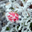 Stock Photo: Rose with white frost