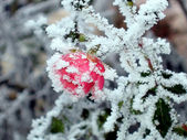 Rose with white frost — Stock Photo