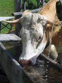 Cow at a watering-place — Stock Photo