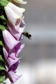Bumble bee approaching a foxglove — Stock Photo