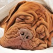Royalty-Free Stock Photo: Dogue De Bordeaux Family