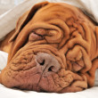 Stock Photo: Dogue De Bordeaux Family