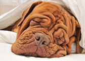 Dogue De Bordeaux Family — Stock Photo