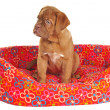 Stock Photo: Puppy Sitting in its Cot