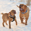 Royalty-Free Stock Photo: Two Dogues De Bordeaux Playing