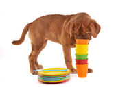 Curious Puppy Sniffing Pile of Cups — Stock Photo