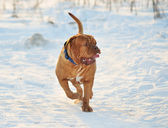 Dogue De Bordeaux Walking — Foto de Stock