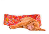 Puppy Sleeping in Puppy Cot — Stock Photo