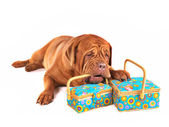 Dog with Beautiful Boxes — Stock Photo