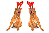 Two Singing Christmas Reindeer Dogs — Stock Photo