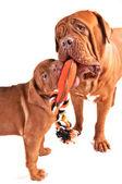 Spelende honden — Stockfoto