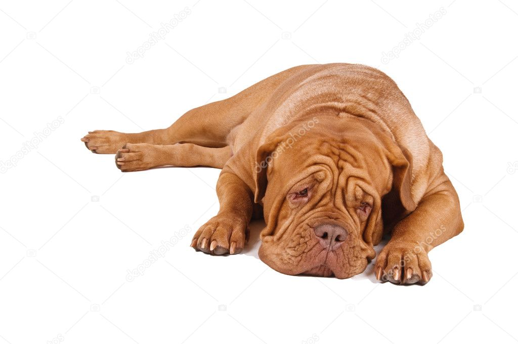 French Mastiff lying down isolated on white background   #2207996