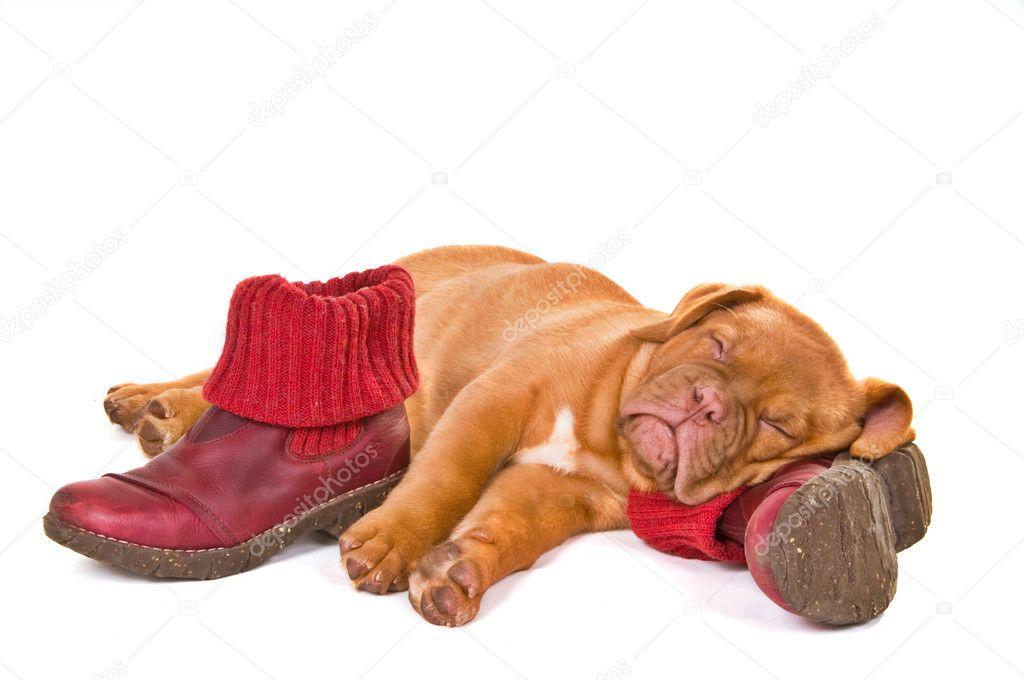 Пан-Ас, собака спит на обуви этом разделе