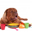 French mastiff on white with plates — Stock Photo