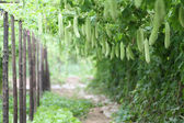 Calabaza amarga — Foto de Stock