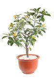 Kumquat tree — Stock Photo
