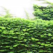 Stock Photo: Ivy clad wall